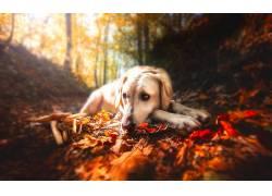 秋季,树叶,森林,性质,狗,动物571657