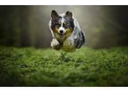 狗,飞行,动物,宠物,植物,跳跃,澳大利亚谢泼德413736