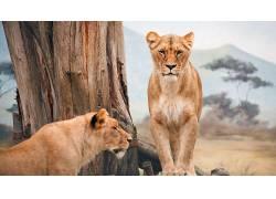 性质,动物,狮子,大猫493404