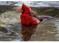 野生动物,鸟类,红雀563894