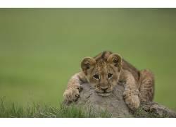 性质,动物,狮子,小动物,景深374164