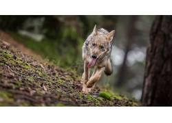 性质,动物,狼,舌头567505