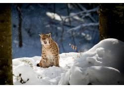 性质,动物,猞猁,冬季,雪,树木,科,森林478678