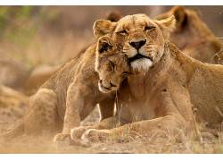 狮子,克鲁格国家公园,性质,动物428918