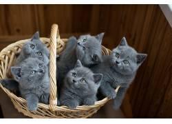 篮,猫,动物,小猫665200