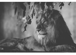 狮子,单色,树叶,动物,野生动物681788