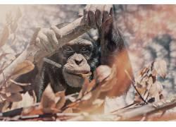 米勒制作,500px的,类人猿,动物565704