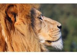 狮子,大猫,动物460269