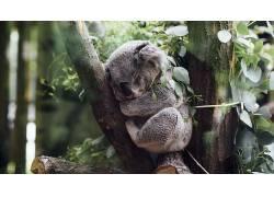 性质,动物,考拉,睡眠,树木,树叶,科,小动物,植物531261