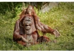 类人猿,动物,小动物,猩猩540987