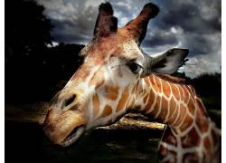 长颈鹿,动物552497