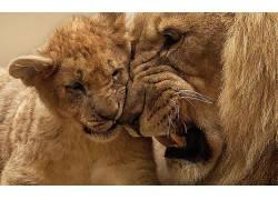 狮子,小动物,动物411024
