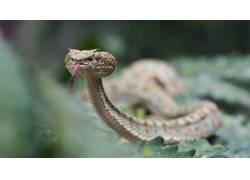 毒蛇,舌头,动物,蛇,爬行动物492173