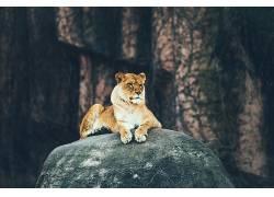 狮子,岩,动物529920