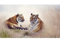 性质,动物,虎,大猫549542