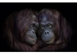 类人猿,动物,猩猩633901