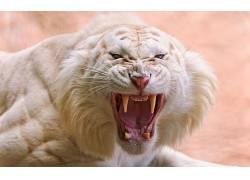 性质,动物,虎,怒吼,獠牙,愤怒,白老虎,特写,大猫531260