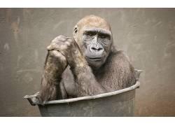 类人猿,动物459596