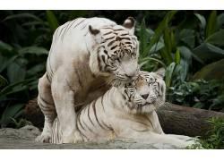 性质,动物,虎,白老虎,大猫380309
