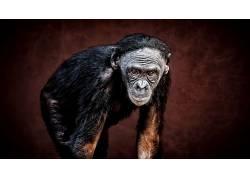 类人猿,动物474156