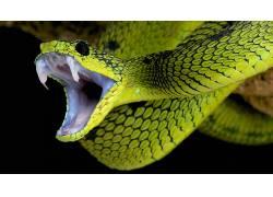 性质,动物,蛇,黑色的背景,皮肤,獠牙,爬行动物414683