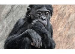 类人猿,动物636795