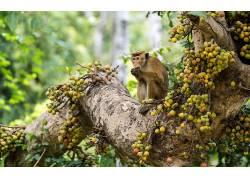类人猿,哺乳动物,树木,水果,动物,性质582566