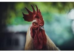 动物,鸡,公鸡569052