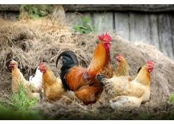 动物,鸡600303