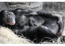 类人猿,小动物,母亲,睡眠,哺乳动物604889