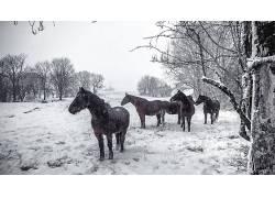 雪,冬季,动物,马600955
