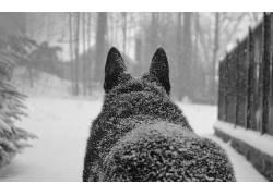 狼,冬季,雪花,雪,动物432795