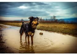 水,湿,性质,动物,狗,澳大利亚人Shephard569262