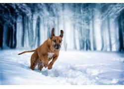 雪,冬季,狗,性质,动物,赛跑,跳跃590314