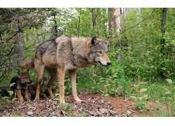 狼,动物,小动物397841