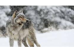 狼,动物,性质,雪,冬季,景深595629