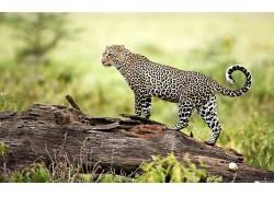 性质,动物,豹(动物)370035