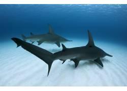 水下,蓝色,海,鲨鱼,鱼,动物,性质551308