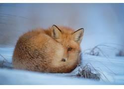 性质,动物,雪,狐狸472176