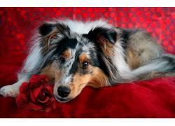 红,红色的花朵,狗,动物597776