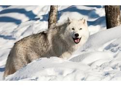 狼,动物,雪,冬季397864