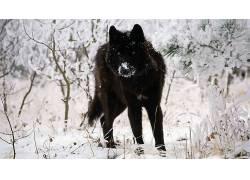狼,动物,雪397857