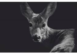 动物,鹿,特写,单色599768