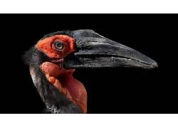 红,黑色,动物,鸟类582551