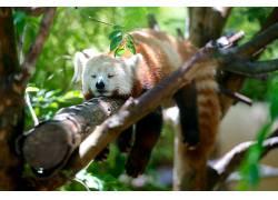 红熊猫,科,睡眠,动物377840