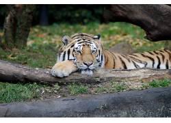 汉堡,动物园,动物,大猫590477