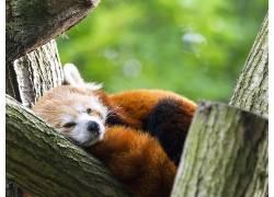 红熊猫,野生动物462735
