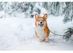 雪,性质,动物,柯基犬,狗627032