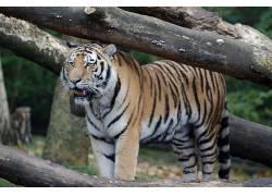 汉堡,动物园,孟加拉虎,虎,树木590469