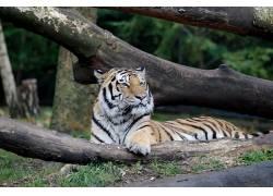 汉堡,动物园,孟加拉虎,虎,树木590475